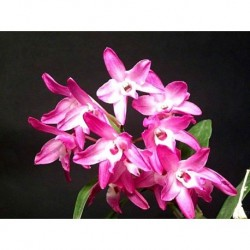Dendrobium Kurenai