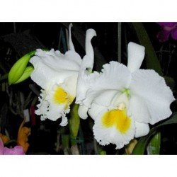 Cattleya Queen Sirikit 'Diamond Crown' AM/AOS