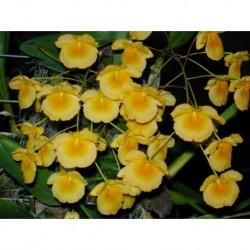 Dendrobium aggregatum (lindleyi)