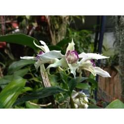 Dendrobium eximium X rodhostictum