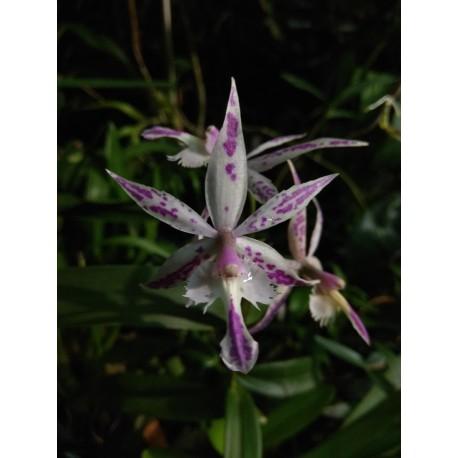 Batteria spectabilis x Epidendrum cristatum