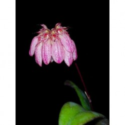 Bulbophyllum auratum