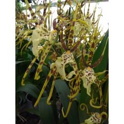 Brassia Ethernal Wind