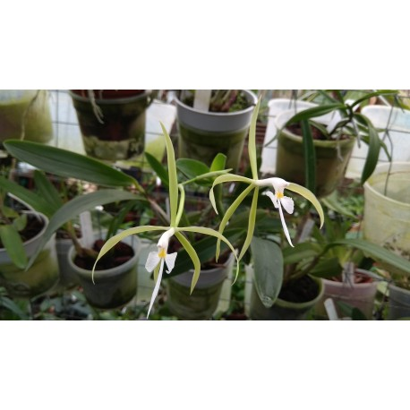 Epidendrum oerstedii