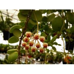 Hoya brevialata
