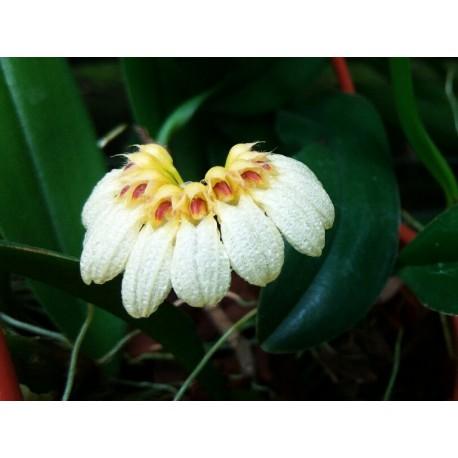 Bulbophyllum auratum 'white'