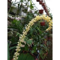 Bulbophyllum odoratum