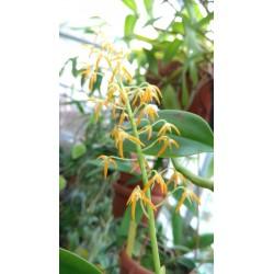 Bulbophyllum sp. (Philippines)