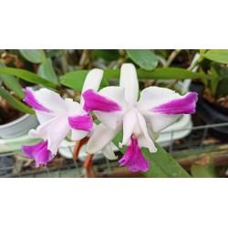 Cattleya intermedia var. aquinii