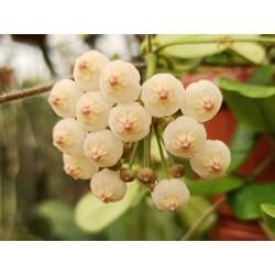 Hoya rotundiflora (lyi)