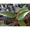 Hoya macrophylla var. albomarginata