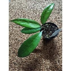 Hoya amoena