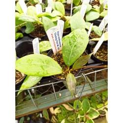 Hoya erythrostemma 'Choking Pink' IML1423
