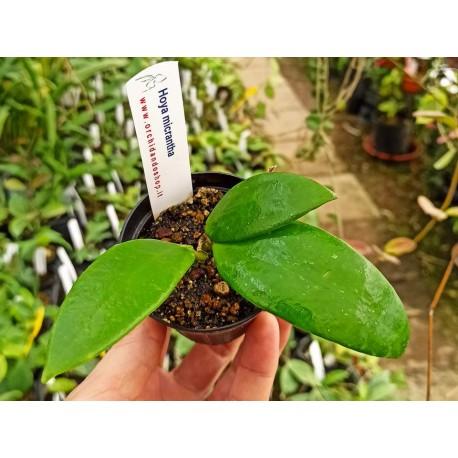Hoya micrantha